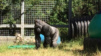 Judge Weighs in on California Group's Dispute With Ohio Zoo Over Gorilla