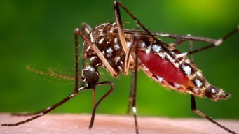 Insect Linked to Zika Detected in San Diego County