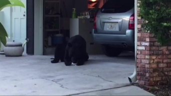 Bear With Sweet Tooth Raids Refrigerator