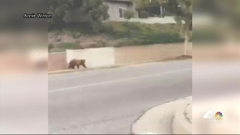 Bear Caught on Camera Roaming Pasadena Streets