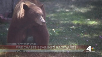 Bear Spotted at Base of Fish Fire