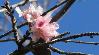 Cherry Blossom Festival to Return to Balboa Park
