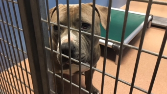 County Impounds 2 Dogs Suspected in College Area Attack