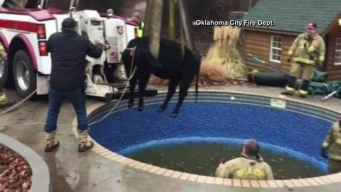 Cow Pool Rescue