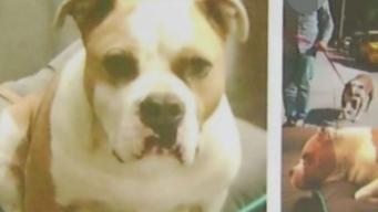English Bulldog Allegedly Stolen by Homeless Man
