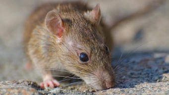 Rodent Population Keeps Growing, Increases Chance of Disease