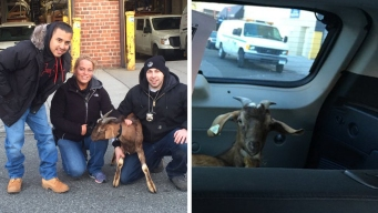 Cops Pay $40 to Save Escaped Goat: NYPD