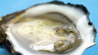 California Live Gets a Look at Harvesting Fresh Oysters