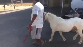 Mini Horse Returned to Owner in Riverside