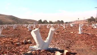 WATCH: Avocado Farms Run Dry