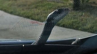 Pop-Up Snake Shocks Driver