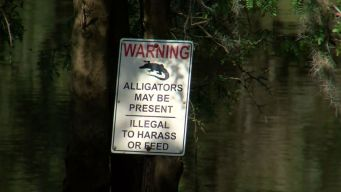 Florida Swimmer Attacked By Alligator