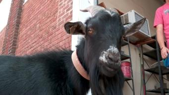 Partying Goat Placed Under 'House Arrest'