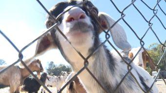 Community Embraces Goat Neighbors