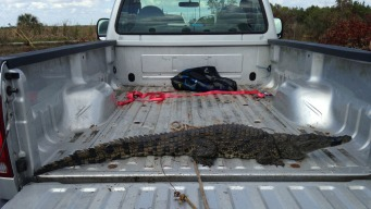 Killer Nile Crocodiles in Florida? Experts Say It's Possible