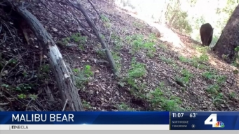 Bear Spotted in Santa Monica Mountains