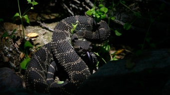 Rattlesnake Season is Here: How to Stay Safe