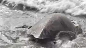 Sea Turtle Released Back Into the Wild