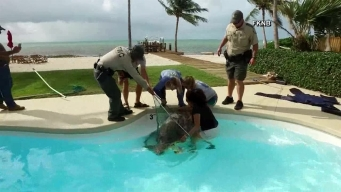 Sea Turtle Rescued From Pool