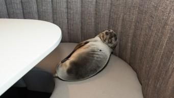 Sea Lion Found Sleeping in Seaside Restaurant