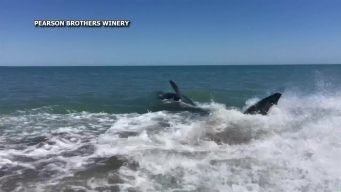 15-Foot Great White Shark Caught on Camera