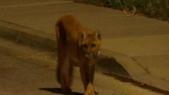 Simi Valley Mountain Lion Caught on Camera