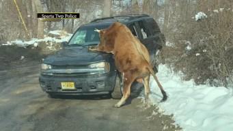 'Highly Aggressive' Bull Mounts Car, Attacks Woman in NJ