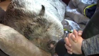 Friends, Legislators Fight to Save NY Family's Support Pig