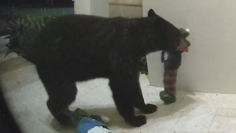 Curious Bear Causes Holiday Mischief, Proves to Be Great Listener