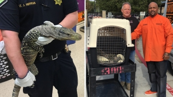Stray 4-Foot-Long Crocodile Monitor Reunited With Owner