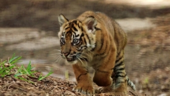 3 Sumatran Tiger Cubs Make Debut at San Diego Zoo
