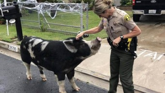 Doritos Donates Chips After Pig Lured Home by Deputy's Snack