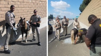 My Lucky Little Pony: Miniature Horse Rescued After Freeway Hit-and-Run