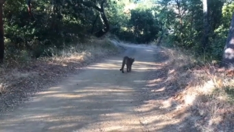 Mountain Lion Family Spotted Along South Bay Hiking Trail