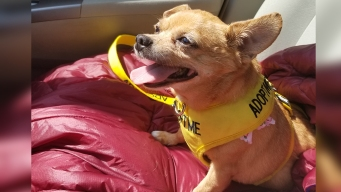 Meet Mooky, a 10-Pound Chihuahua Up for Adoption