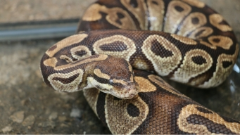 Redlands Police Capture 5-Foot-Long 'Not Friendly' Python
