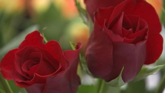 Organ Donors Honored With Roses
