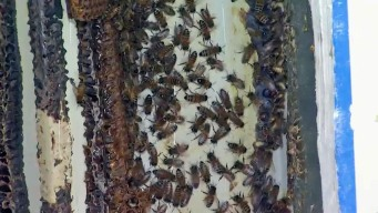 Bees, Hive Removed From Wall at South Bay Nursing Home