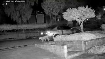 Mountain Lion Caught on Video in East San Jose Neighborhood