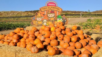 Sweet Sanrio Pumpkin Patch Opening at Tanaka Farms