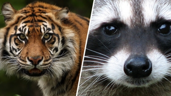 'Tiger' Reported Running in NYC Streets; Cops Find Raccoon