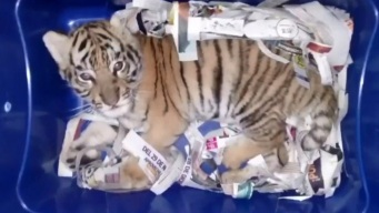 Someone Tried to Express-Mail a Tiger Cub