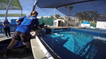 SeaWorld San Diego Receives Two Rescued Sea Turtles