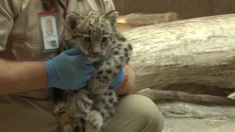 Baby Leopard Debuts at Omaha Zoo