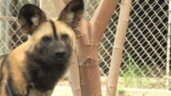 LA Zoo Welcomes Endangered African Painted Dogs