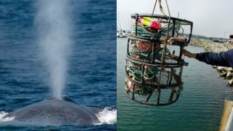 Environmental Group Says California Crabbers Harming Whales