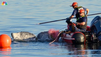Rescuers Free Gray Whale