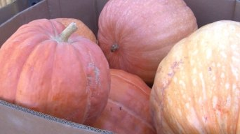 Pumpkin Farmer Drastically Cuts Water Usage