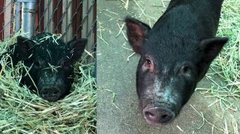 Stray Pig Named Piggy Smalls Up for Adoption