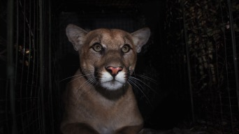 Mountain Lion Killed on Freeway Was Being Chased by Another Lion, Park Service Says